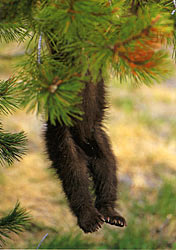 Photo of black bear cub hangin out of tree by Don Jones